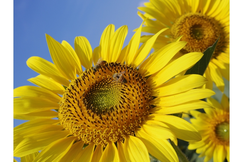 03-Sunflower01_WEB.JPG