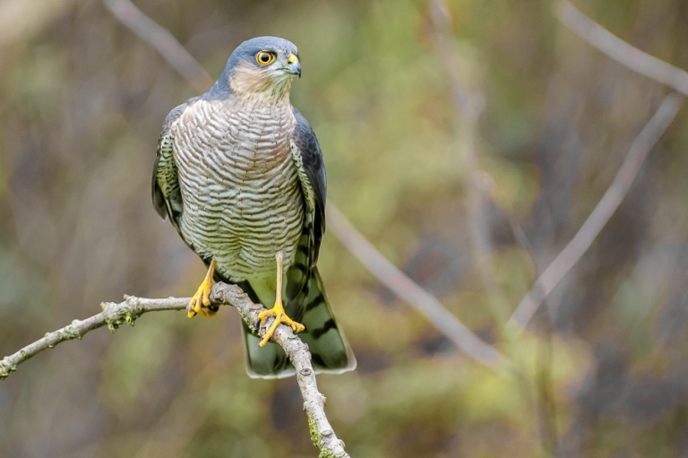 male Sparrowhawk // Sperber